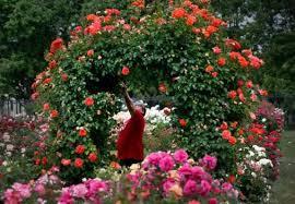 Flower San Jose - bounty of beauty at the san jose rose garden u2013 the mercury news