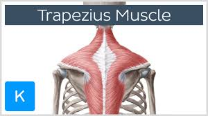 Anatomy Of Body Muscles Trapezius Muscle Function Origin Insertion U0026 Innervation