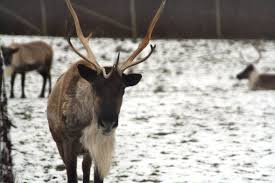 reindeer in arctic dying of mass starvation due to climate change