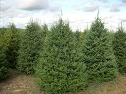 balsam christmas tree buy real balsam fir christmas trees online christmas tree express