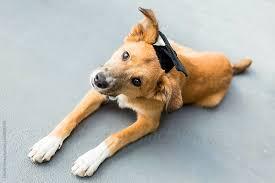 dog graduation cap dog with graduation cap by stocksy united