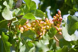 fruit tree garden layout pistachio tree care u2013 how to grow a pistachio tree