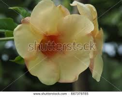 White Trumpet Flower - u0026quot trumpet shaped flowers u0026quot stock images royalty free