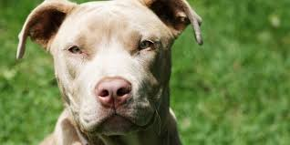 dog wallpapers pit bull dog wallpapers pictures images