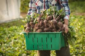 Green Root Vegetables - root vegetables stock photos offset
