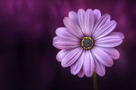 flower images free images nature blossom flower purple petal bloom