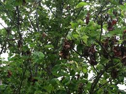 this ornamental pear tree with brown leaves is showng signs of
