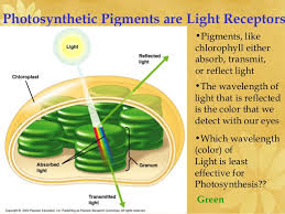 the absorption of light by photosynthetic pigments worksheet answers ap biology ch 8 photosynthesis light reactions