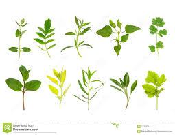 herb herb leaf posy selection stock photo image of oregano 19296702