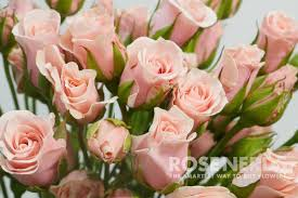 roses wholesale wholesale light pink spray roses 120 stems