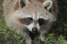 free stock photo of raccoon