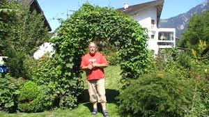 how to grow hops on an arch in your garden part 1 youtube