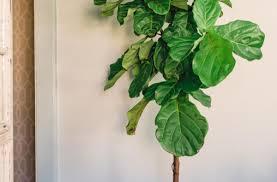 best indoor trees plant houseplants choosing the right indoor greenery pictures