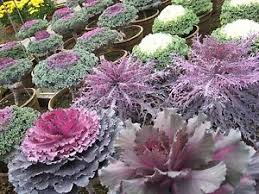 0 3g approx 100 ornamental cabbage seeds fringed leaved
