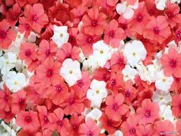 Beautiful Flower Pictures Free Wallpaper Free Flower Wallpaper Beautiful Flower