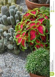 Tropical Plants For Garden - colorful cactus garden royalty free stock photos image 32210968