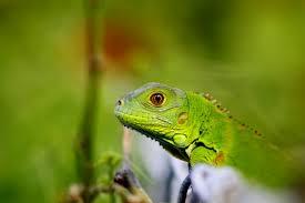 iguanas of the florida keys and key west the florida living magazine