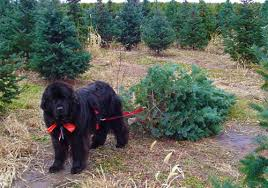cut your own christmas tree 10 minutes from twin lakes mary