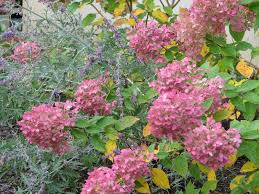 How To Be An Interior Designer Landscape Design And Consulting Landscaping Limelight Hydrangea