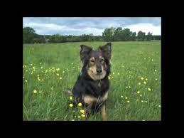 australian shepherd x rottweiler border collie x german shepherd mix dogs slideshow youtube