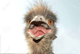 close up of an emus face with mouth open stock photo picture and