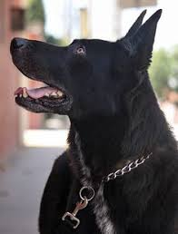 belgian shepherd youtube check my new video after ffew years they still playing https