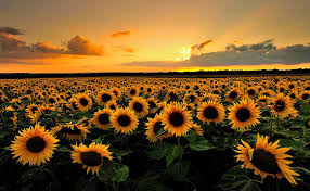 sunflower pictures why do sunflowers follow the sun and reorient at