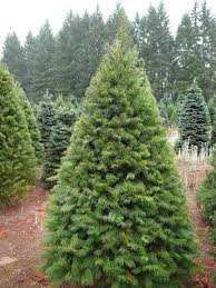 real christmas tree a sign of real christmas tree images decorating ideas
