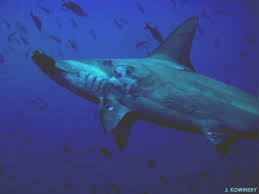 hammerhead sharks facts and information about hammerheads