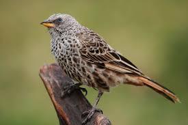file weaver bird jpg wikimedia commons