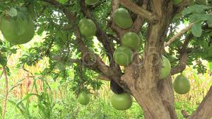 Define Tree Stock Video Of Burkina Faso Calabash Tree Filled With Fruit