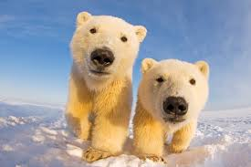 polar bears wwf