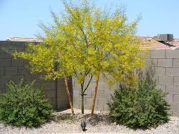 tucson native plants why plant desert trees in tucson acacia nursery