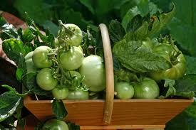 comment cuisiner les tomates vertes cuisiner des tomates inspiration de conception de maison