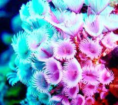 christmas tree worm tube worms feather duster worms