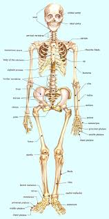 Anatomy And Physiology Coloring Workbook Chapter 16 Answer Key Best 25 Human Skeleton Labeled Ideas On Pinterest Human