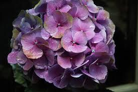 Purple Hydrangea Hydrangea Photographs Fine Art America