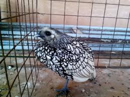 free picture ornamental poultry hen bird