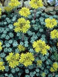 10 best rock garden plants images on pinterest rock garden