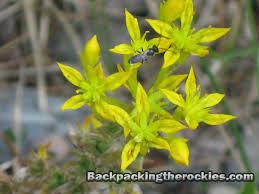 native edible plants yellow stonecrop sedum wild edible plant in the rocky mountains