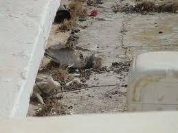 tauben auf dem balkon tote taube neben dem balkon lti djerba plaza thalasso spa in