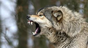white wolf 10 pictures of growling wolves that will awaken your