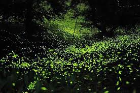 How Do Fireflies Light Up It U0027s Time For Fireflies In Central Mexico