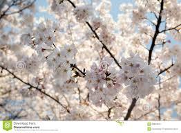 sakura cherry blossom flowers on cherry blossom tree background