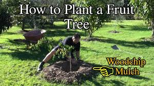 how to plant a fruit tree in the backyard with woodchip youtube