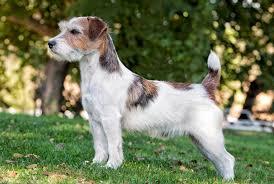 affenpinscher at westminster two breeds make their westminster dog show debut