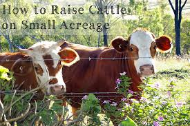 Backyard Dairy Cow How To Raise Cattle On Small Acreage From Scratch Magazine