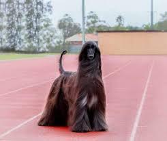 afghan hound racing uk glossy afghan hound becomes internet sensation dogs today magazine
