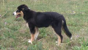 australian shepherd welpen 6 monate berlin aussies entwicklung