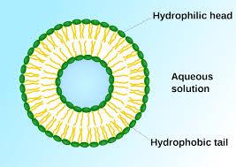 vesicle biology and chemistry wikipedia